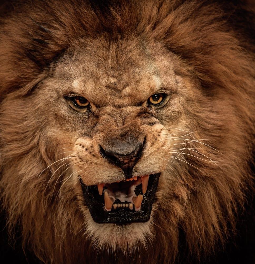 Der Amazon Löwe